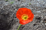Mohn Blume Orange