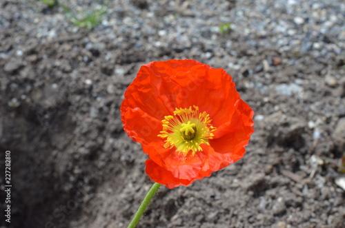 Mohn Blume Orange - 227282810