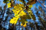 abstract autumn oak twig - 227290494