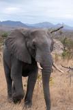 Elephant, Kruger