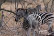Zebras, Hwange