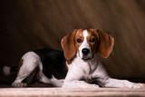 Cute beagle posing in a studio - 227294610
