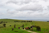 Cows in a green field grazing against a rural landscape