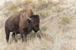 Bison at Theodore Roosevelt National Park in North Dakota, USA