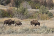 Bison at Theodore Roosevelt National Park in North Dakota, USA
