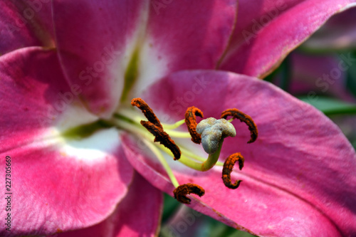 Close up of pink stargazer lily - 227305669