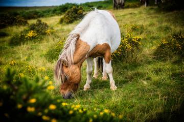 Wild Dartmoor pony grazing on grass