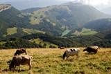 Kühe in Italien