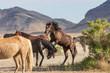 Wild Horse Stallions Fighting in the Utah desert