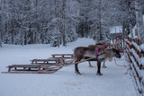 Reindeers ready to ride on a farm in Finland - 227343417