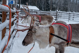 Reindeers ready to ride on a farm in Finland - 227343452
