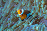 Clown Anemonefish, Amphiprion percula, swimming among the tentacles of its anemone home