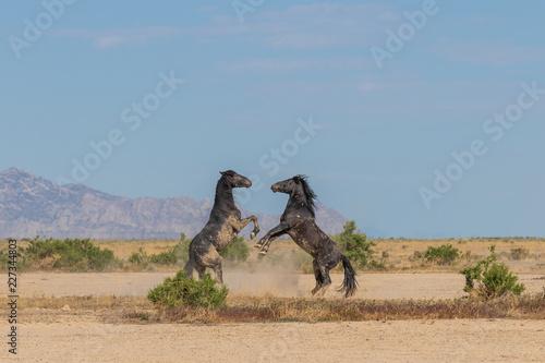 Dzikich koni ogierów walczących na pustyni Utah
