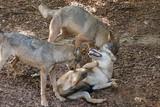 Wolfskampf zu dritt