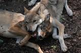 Wölfe Rangordnung