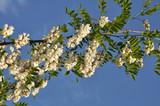 Acacia blossom white - 227353845
