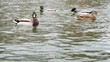 Wild duck on the water. Ducks swimming in the pond, on sea surface, slow motion