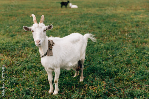 White goat stands on a green field in the village