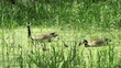 Geese swimming with their chicks through tall grass in a pond. The chicks attempt to feed on grass.