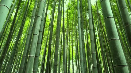 Tilting Up VIew of Bamboo Grove in Kyoto, Japan © blackboxguild
