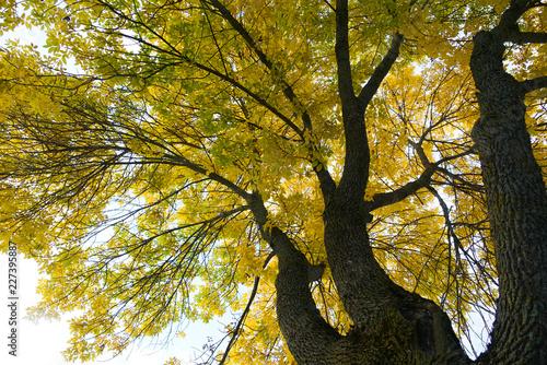 Foto Murales  yellow autumn tree branches in autumn season