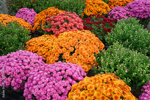 colorful chrysanthemum flowers outdoor in autumn season - 227396047