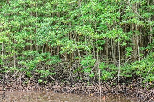 Mangrove Forest  in national park,Thailand. - 227402409