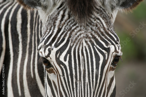 Horizontal close up image of  zebra face.
