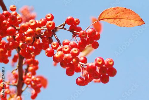 Foto Murales 가을에 예쁘게 익어가는 마가목 열매