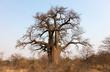 Leinwanddruck Bild - Large baobab tree in Botswana