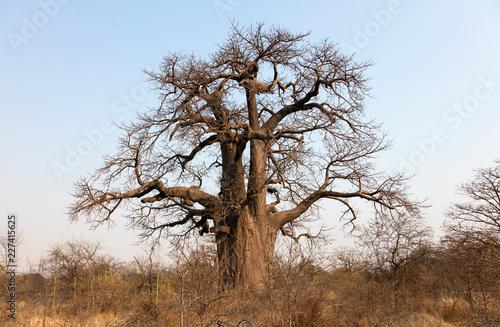 Leinwanddruck Bild Large baobab tree in Botswana