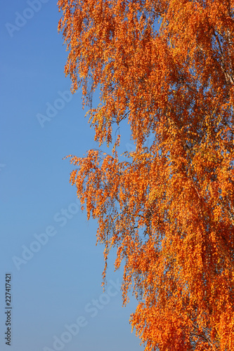 Birch on a sunny autumn day against a blue clear sky. - 227417421