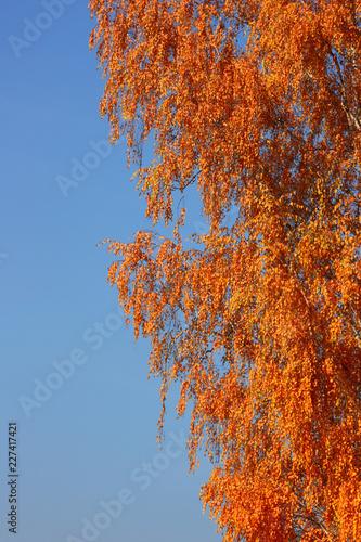 Birch on a sunny autumn day against a blue clear sky. - 227417421