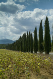 Tuscany, Italy, landscape with rows of cypress trees and sunflowers, blue sky