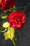 pretty,fragrant rose close up