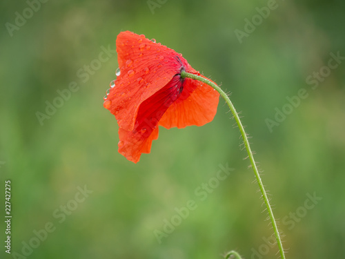 Garden poppy after the rain. Summer rain and poppy closeup. - 227427275