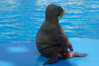 Quadro walrus water animal