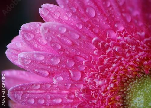 pink petals in dew drops - 227444800