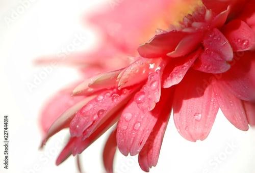 pink gerbera flower in dew drops - 227444814