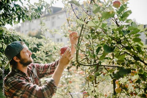 Foto Murales Gärtner pflückt Apfel