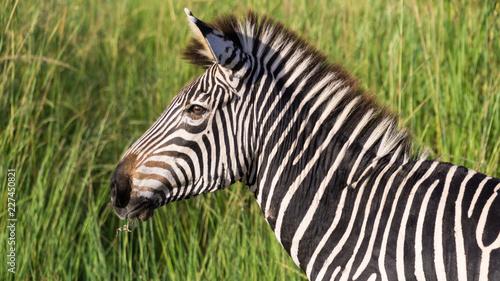 Zebra with green background - 227450821
