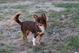 Chihuahua (dog) / Little dog running through the grass