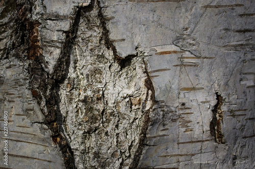 mystical natural patterns on birch bark close up partially trimmed surface - 227468450