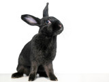 A black domesticated pet rabbit on a white background