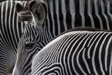 zwei Zebras  - 227490052