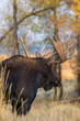 Bull Shiras Moose in Wyoming in Fall