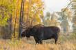 Bull Shiras Moose in Wyoming in Fall
