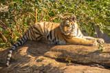 kitten of ussurian tiger