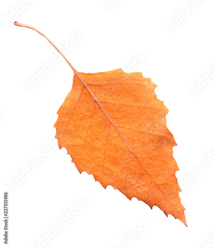 Yellow autumn leaf of birch tree isolated - 227513486