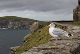 Gazing out toward the sea, a lone seagull perches on a stone wall along Slea Head Drive on the Dingle Peninsula in County Kerry, Ireland
